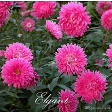 2018 pink chinse aster flower 200 seeds easy to grow cut flower variety por diy home garden flowering plant from elgant 5 02 dhgate