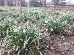 Help Identifying This Perennial Grass Like Plant Gardening
