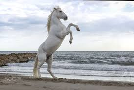 white horse rearing. Interesting Horse White Horse Rearing Up On The Beach Camargue France Inside Horse Rearing E