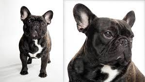 black french bulldog full grown. Unique Black French Bulldog Bulldog  Inside Black Full Grown A