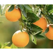 Produção de laranja em são paulo ficou concentrada com apenas 1% dos citricultores,. Laranja Pera Do Rio Citrus Sinensis