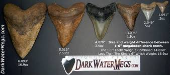Shark Tooth Size Chart How Much Is A Megalodon Tooth Worth Dark Water Megs