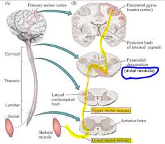 cranial nerves v and vii pathways
