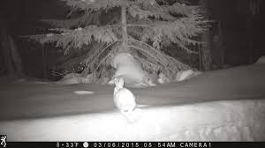 real sightings of the easter bunny. Interesting Bunny Finding My Way To Moose River Farm Throughout Real Sightings Of The Easter Bunny T