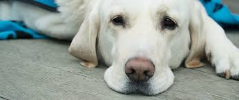 What Is The Life Expectancy Of A Dog With A Nasal Tumor
