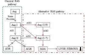 Local Renin Angiotensin System At Liver And Crosstalk With