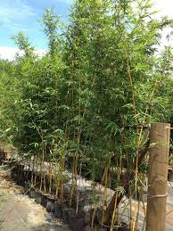 Asian lemon timber bamboo