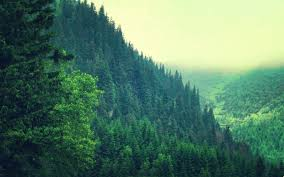 Free download Pine forest wallpaper ...
