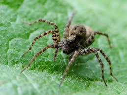 Résultats de recherche d'images pour «araignée loup»