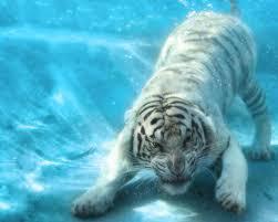 水中とらの動物壁紙