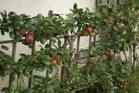 Cordon Apple Trees Stock Photos U0026 Cordon Apple Trees Stock Images Growing Cordon Fruit Trees