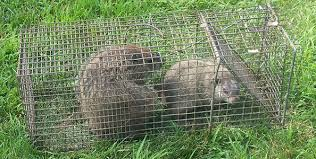 getting rid of groundhogs mothballs. Perfect Groundhogs Wondering How To Get Rid Of Groundhogs There Is No Magic Spray Or Device  That You Can Use Make Them Go Away Some People Try Sell Predator Urine  And Getting Rid Of Groundhogs Mothballs N