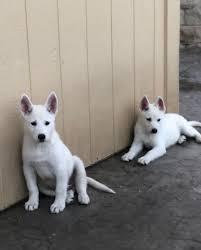 white husky mix puppy. Plain White Allwhite German ShepherdHusky Mix Puppies For Sale On White Husky Mix Puppy E