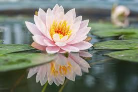 Lotus Flower Color Chart Lotus Flower Meaning And Significance All Over The World