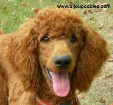 Red And Brown Standard Poodles