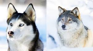 Wolf Vs Dog Size Chart Siberian Husky Vs Wolf Are They Related Differences