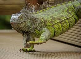 How To Make Your Iguana Grow Faster Care Guides For Pet