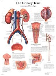 Anatomical Chart Posters The Urinary Tract Anatomical Chart