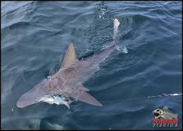 Ocean City Md Tide Chart 2018 Ocean City Maryland Shark Fishing Ocmd Pitbossfishing