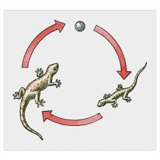 Leopard Gecko Age Chart What Are The Stages In A Leopard Geckos Life Cycle Pets