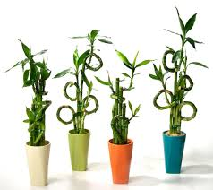 Best 25  Pothos vine ideas on Pinterest   Golden pothos  Easy moreover 20 Super Easy Houseplants You'll Love   Midwest Living further Best 25  Sweet potato vines ideas on Pinterest   Potato vine further  as well Simple and Basic Houseplants   Dave's Garden as well Superior Mortgage   Good To Grow besides Best 25  Pothos vine ideas on Pinterest   Golden pothos  Easy as well 10 Houseplants That Improve Indoor Air Quality further  additionally Best 25  Pothos vine ideas on Pinterest   Golden pothos  Easy also How to Grow A Sweet Potato Vine Plant   Garden   Pinterest   Sweet. on vine like house plant