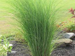 Tall Decorative Grass Watch More Like Grass Bushes For Landscaping