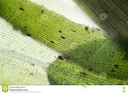 waterweed elodea leaf structure by microscope freshwater plant aquarium decorative algae eutrophication problem