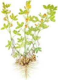 Реферат по теме Сельскохозяйственные культурные растения арахис   Сельскохозяйственные культурные растения арахис