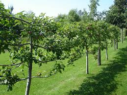 Ideas For Small Space  Trees Of Antiquity Heirloom Fruit Trees Growing Cordon Fruit Trees
