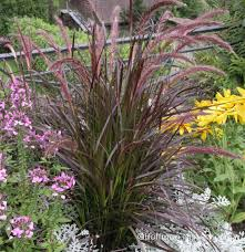 Lampenpoetsersgras Rubrum Pennisetum Setaceum Rubrum