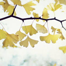 nature photography ginkgo tree leaves white yellow gold minimal nature wall art fine on ginkgo tree metal wall art with nature photography ginkgo tree leaves from lupen grainne