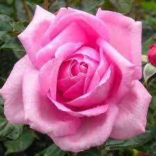Millie | Fragrant Pink Hybrid Tea Rose | The Fragrant Rose Company