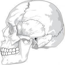 人間の頭蓋骨側ビュー クリップ アート ベクター クリップ アート 無料