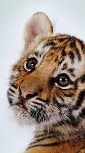 tiger iphone 6 wallpaper. Plain Iphone 1080x1920 Tiger Wallpaper Tumblr Animals Tiger Iphone 6 Plus To Iphone Wallpaper E