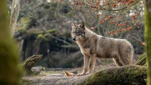 Wallpaper Wolf look, forest 3840x2160 ...