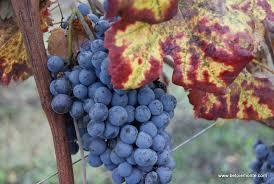Risultati immagini per nebbiolo vitigno