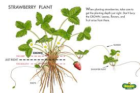 growing strawberries tips on planting