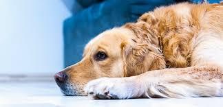 cbd oil for dog acne dogdreamcbd