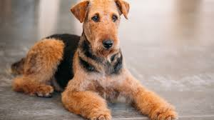 Airedale Weight Chart 9 Versatile Facts About The Airedale Terrier Mental Floss