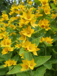 Common Yellow Garden Flowers Loosestrife Flower Uk Stock Image I