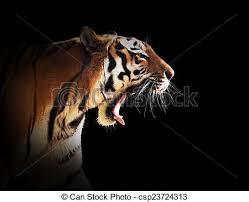 tiger roar side view. Perfect Roar Wild Tiger Roaring Black Background  Csp23724313 On Tiger Roar Side View E
