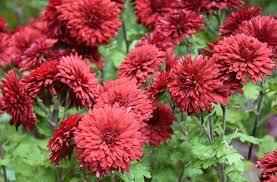 chrysanthemum ruby mound garden mum ruby mound florist s mum