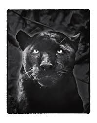 Black Jaguar Photograph by Fred Hood