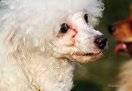 poodle with tear stains
