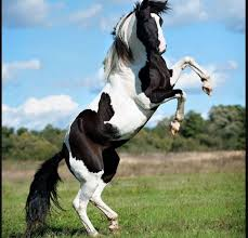 horses wallpaper black and white. Perfect Wallpaper Black And White Horse Wallpaper With Horses Wallpaper And White F