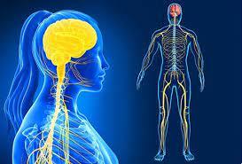 Qué es y cómo se estructura el sistema nervioso - Neurocirugía de la Torre