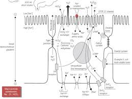 Pathophysiology Of Diarrhoea In Flow Chart Pathophysiology Of Diarrhea