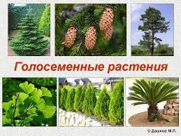 Презентации по биологии класс Голосеменные растения презентация по биологии 7 класс