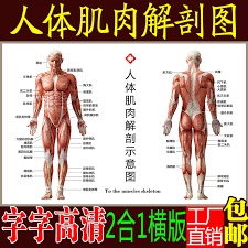 Usd 10 51 Body Muscle Anatomy Chart Hanging Chart Structure