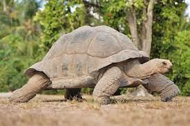 Tortoises   Bird Island, Seychelles